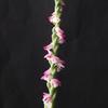 Spiranthes sinensis var.sinensis