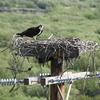 ミサゴの巣