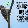 コゲラ【野鳥図鑑・鳴き声図鑑】Dendrocopos kizuki  Japanese Pygmy Woodpecker
