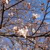 台風被害に遭った黒川緑地公園の桜が花を開き被害復旧工事も始まる