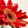 あの花は今【ガーベラ・サイネリア】