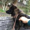 甲斐犬、その程良い体格とは 。°(°`ω´ °)°。イツノ間ニ太ッタノ?