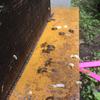 蜂群崩壊の危機