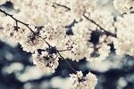 京都で混雑を避けてゆっくりお花見ができる穴場の桜の名所おすすめベスト8