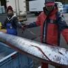 【地震前兆・予測】2018年1月12日:京都府の日本海でリュウグウノツカイ捕獲