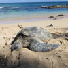 マウイ島のビーチでウミガメに遭遇