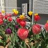 【チューリップ畑計画⑦】待ちに待った開花!〜気温によって花が開いたり閉じたりするのはなぜ?〜