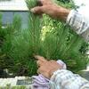 松の剪定 初心者にもできる芽摘み