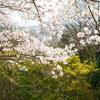 地元の桜めぐり Part2 (4月4日編) Ⅲ