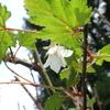 モミジイチゴの花とオトシブミの仲間