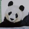 神戸王子動物園のタンタンは里帰りします。