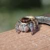 ハエトリグモ(蠅捕蜘蛛)の魅力と種類【小さな体のかわいい虫ハンター】