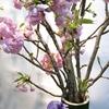 桜竹と広瀬川の石