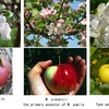 りんごは,バラ目 Rosales,バラ科 Rosaceae,サクラ亜科 Amygdaloideae,リンゴ連 (ナシ連 ),リンゴ属 ,  セイヨウリンゴ M. pumila.原種であるM. sylvestrisや交雑したM. sieversii などの野生種は英語でcrab applesと呼ばれています.クラブりんごは,実は小粒で酸味が強いため,食用には適さず,美しい花を観賞するのが一般的.花を愛でるリンゴ属植物「海棠」も英語ではcrab appleの一品種とされています.
