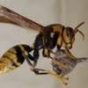 新城市でハチ駆除!家の壁面にできた蜂の巣を駆除!