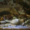 アマゴ Oncorhynchus masou ishikawae (アマゴ受精卵 2013.01.03)