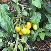 果菜類を育てていると家庭菜園やっているなぁとか思えます