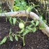 ミニトマト 脇芽(挿し木)を移植