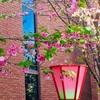 造幣局、桜の通り抜けに行ってきました!