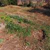 春のように暖かい日。久しぶりの家庭菜園。