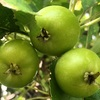 ヒメリンゴの青い実