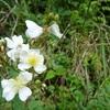 イバラの花
