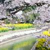山科にも春到来 疎水の桜も満開