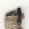 ツバメの巣を壊したら「鳥獣保護法違反」で罰せられるんですよ。