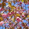 釧路八重の花