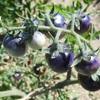 ミニトマト ブルーベリーズの色の変化