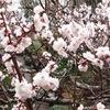 我が家の梅はそろそろ見頃 / 梅と太宰府といえば菅原道真ですが,奈良時代なら大伴旅人 梅(3)/ 万葉集 わぎもこが、うゑしうめのき、みるごとに、こころむせつつ、なみだしながる 大伴旅人