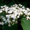 今日の花~ハクサンボクと見晴らしの松