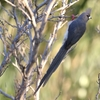 Clanwilliamのセジロネズミドリ(White-backed Mousebird)