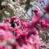 万博公園に梅を見に