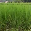 ひとつ目の不耕起田んぼの稲が立ってきました(田植え後9週目)