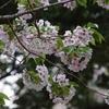 抑鬱と夕方の桜