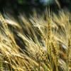「夢の麦畑」刈り入れ