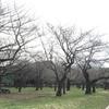 【お花見】代々木公園 桜の開花状況 2016/4/1(金) 満開デスか?