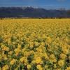 滋賀県「第一なぎさ公園・菜の花リベンジ」2020