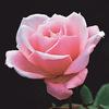 今日の誕生花「バラ」いろいろな品種と豊富な色で花の女王!