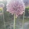 庭に「にんにくの花」が咲きました。