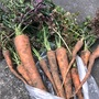 市民菜園で野菜づくりに挑戦!43 〜にんじん収穫