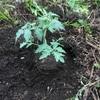 ひとはな農園たより「残りのトマト苗植え付けしました」