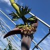 バナナは下に垂れます🍌