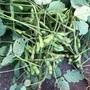 野菜づくり二年生 26 〜枝豆収穫!