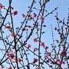 梅宮大社神苑の梅