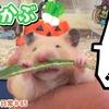 【ハムスター 動画】仕方なくかぶを食べる顔がめちゃウケ可愛いハムスターのきんちゃんw#85