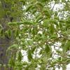 萌え出づる春~別所沼公園のメタセコイア~