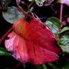 ヒメツルソバの紅葉 2012秋