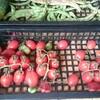 トマトの自家採種